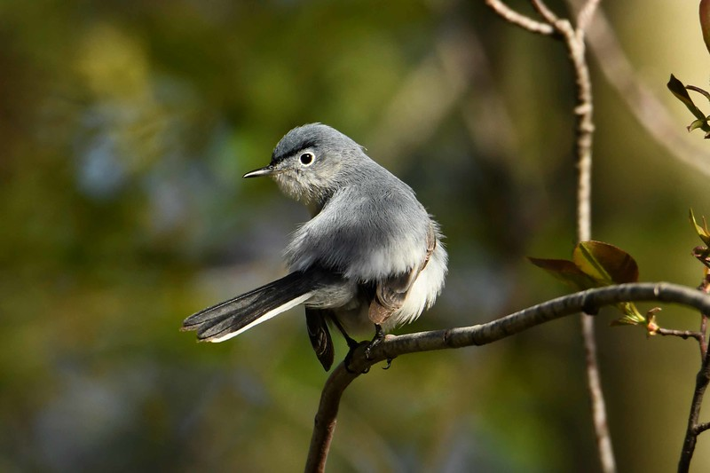 "Blue-gray Gnatcatcher (m) -- Polioptila caerulea<br /> <br /> ""Study nature, love nature, stay close to nature.  It will never fail you."" ~ Frank Lloyd Wright"