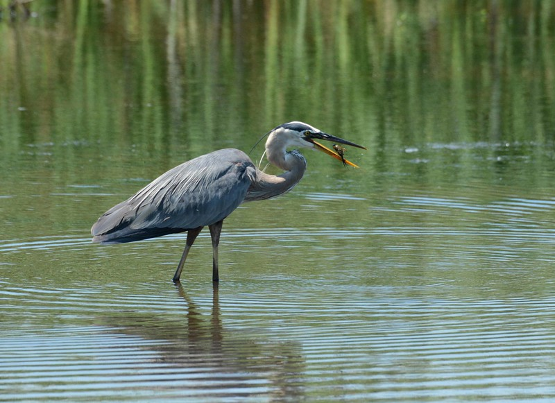 Great Blue Heron -- Ardea herodias, getting busy when crayfish are plentiful