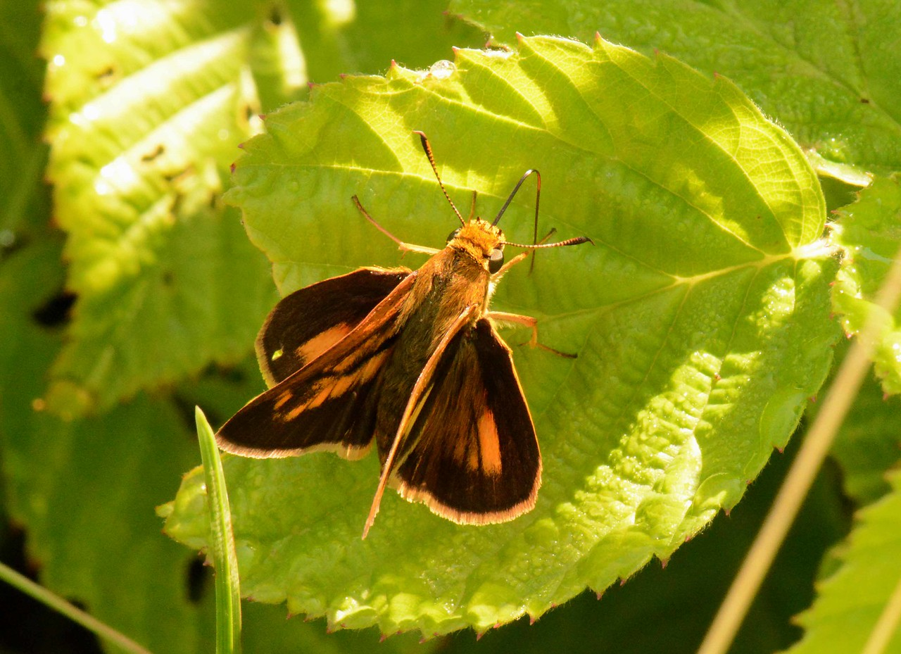 "Dion Skipper (m) -- Euphyes dion, large skipper (wingspan 32-40 mm) of marshes and bogs takes in some morning dew.<br /> <br /> 'Strive not for gold, for greedy fools<br /> Measure themselves by poor men never;<br /> Their standards still being richer men,<br /> Makes them poor ever.' ~ William Henry Davies, ""Songs of Joy"""