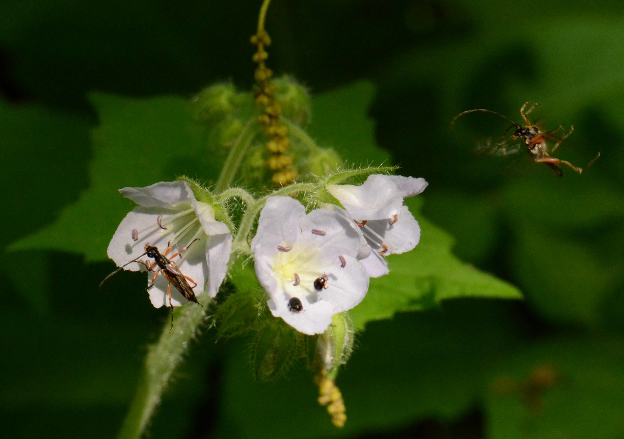 """Great Waterleaf -- Hydrophyllum appendiculatum, a biennial plant, attracts some beetles, the larger here appear to be Flower Longhorns -- Analeptura lineola. <br /> <br /> 'I am he as you are he as you are me and we are all together...' ~ Beatles, """"I am the Walrus"""", 1967."""