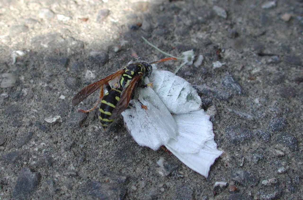 "European Paper Wasp -- Polistes dominula, a fairly recent immigrant to our area, field dressing a moth -- removed the head, legs, wings, abdomen and took only the thorax.<br /> <br /> ""All our business we transact in a kind of waspish state. (Chorus)"" ~ from ""Wasps"" by Aristophanes"