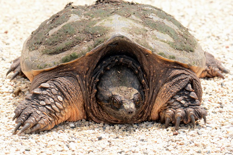 """Common Snapping Turtle -- Chelydra serpentina. field notes: apex predator was accompanied by quite a few leeches.<br /> <br />  'Half of what I say is meaningless; but I say it so that the other half may reach you."""" ~ from """"Sand and Foam"""" by Kahlil Gibran"""