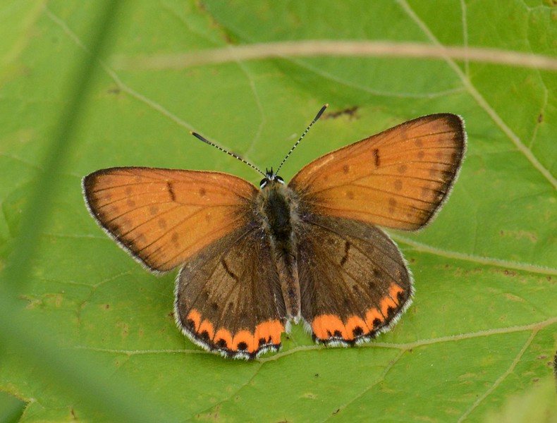 "Bronze Copper (m) -- Lycaena hyllus<br /> <br /> ""I arise in the morning torn between a desire to improve the world and a desire to enjoy the world. This makes it hard to plan the day."" ~ Elwyn Brooks White"