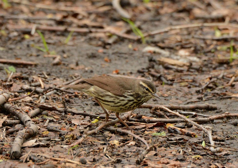 "Northern Waterthrush -- Parkesia Noveboracensis<br /> <br /> 'Short arm needs man to reach to Heaven<br /> So ready is Heaven to stoop to him.' ~ Francis Thompson, ""Grace of the Way"""