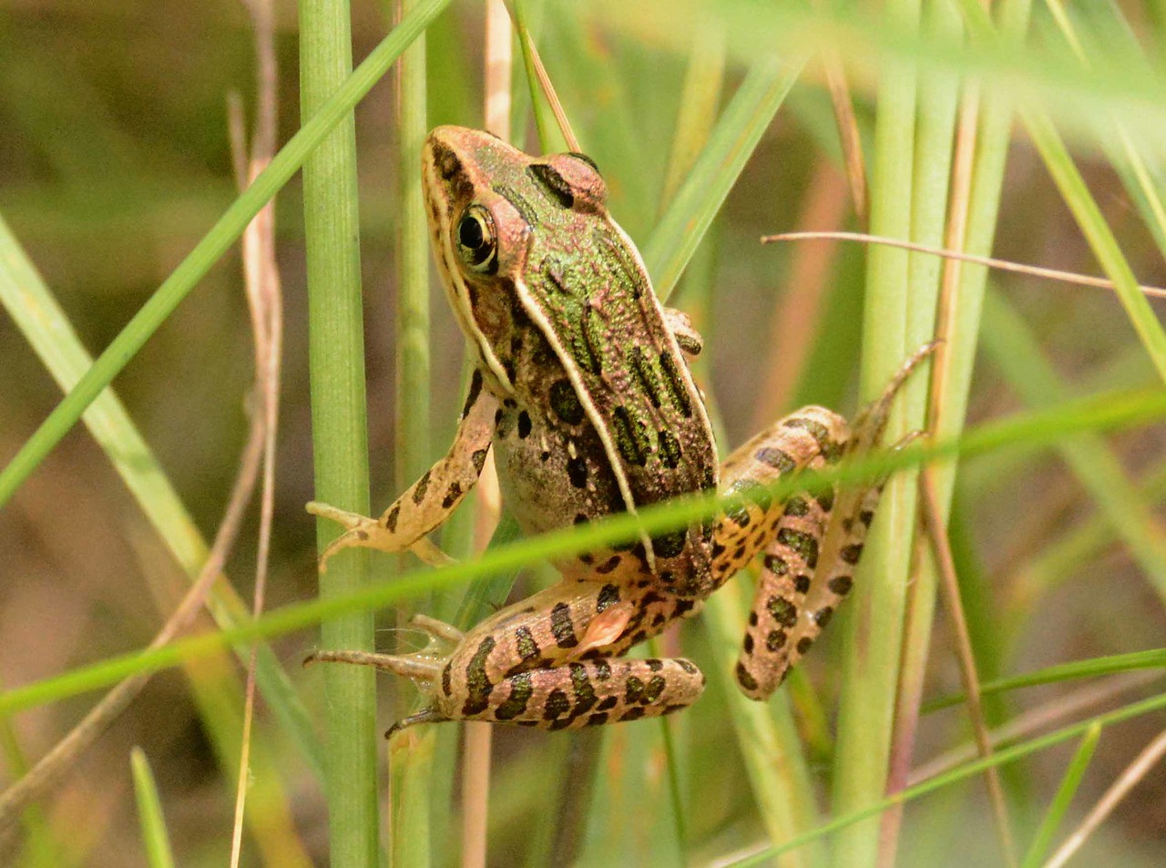 "Plains Leopard Frog -- Rana blairi<br /> <br /> ""Oh to be a frog, my lads, and live aloof from care."" ~ Theocritus, 3rdC BCE"