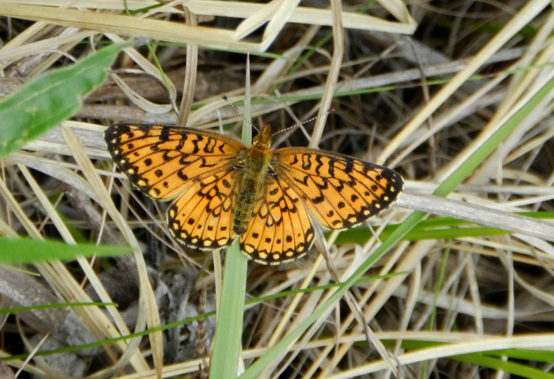 "Silver-bordered Fritillary -- Boloria selene, possible female.  Selene is the Greek goddess of the moon.<br /> <br /> ""simple living, high thinking"" ~ Nepalese mantra"