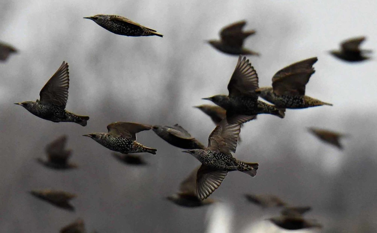 European Starlings -- Sturnus vulgaris. Fall flocks can reach Hitchcockian numbers...