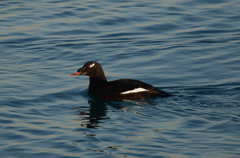 White-winged Scoter (m) -- Melanitta fusca, largest of the Scoters<br /> <br /> 'One man practicing kindness in the wilderness is worth all the temples this world pulls.' ~ Jack Kerouac, Dharma Bums