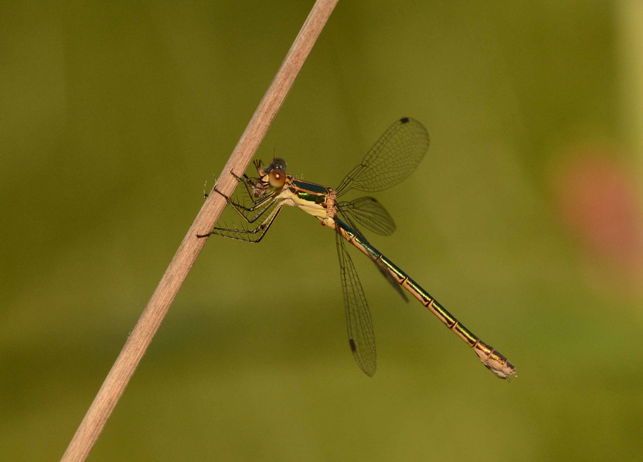 """Emerald Spreadwing (f) -- Lestes dryas, eating a spider. <br /> <br /> 'A nymph lives under water<br /> In our rivers, in our lakes.<br /> It is mute but tells us stories <br /> Of our past, of our mistakes...' ~ """"The Water Nymph"""""""