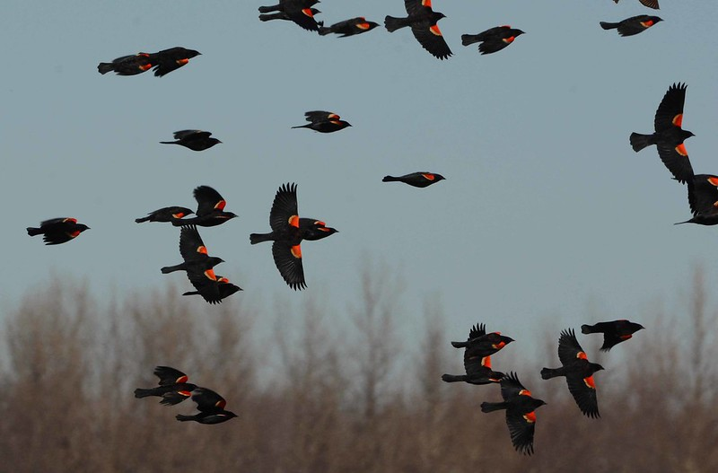 Red-winged Blackbirds (m) -- Agelaius phoeniceus<br /> <br /> Migrating males flock in before females. Don't ask the groundhog.