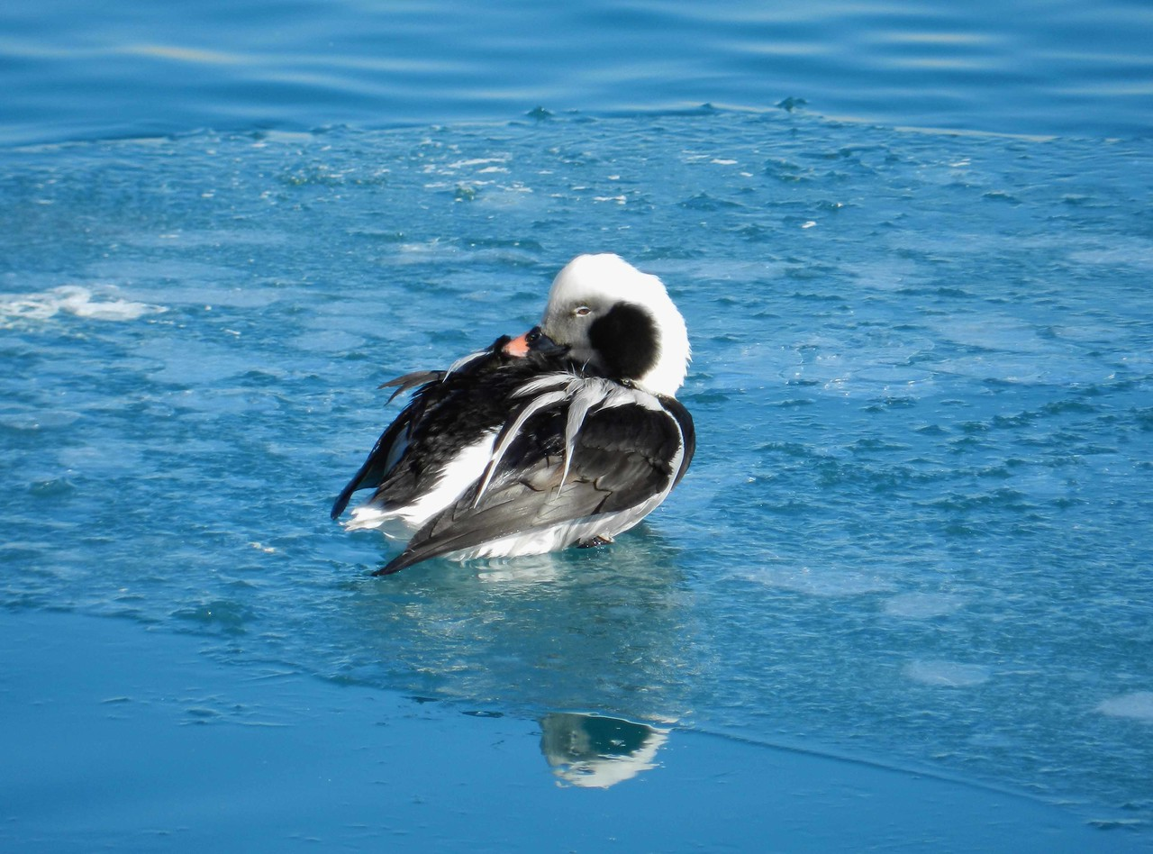 """Long-tailed Duck (m) -- Clangula hyemalis.<br /> <br /> 'I don't mind the cold or heat <br /> And I've got a reason<br /> Love when it's spread all around<br /> Can tackle any season' ~ Nikki Giovanni, """"A Statement on Conservation"""""""