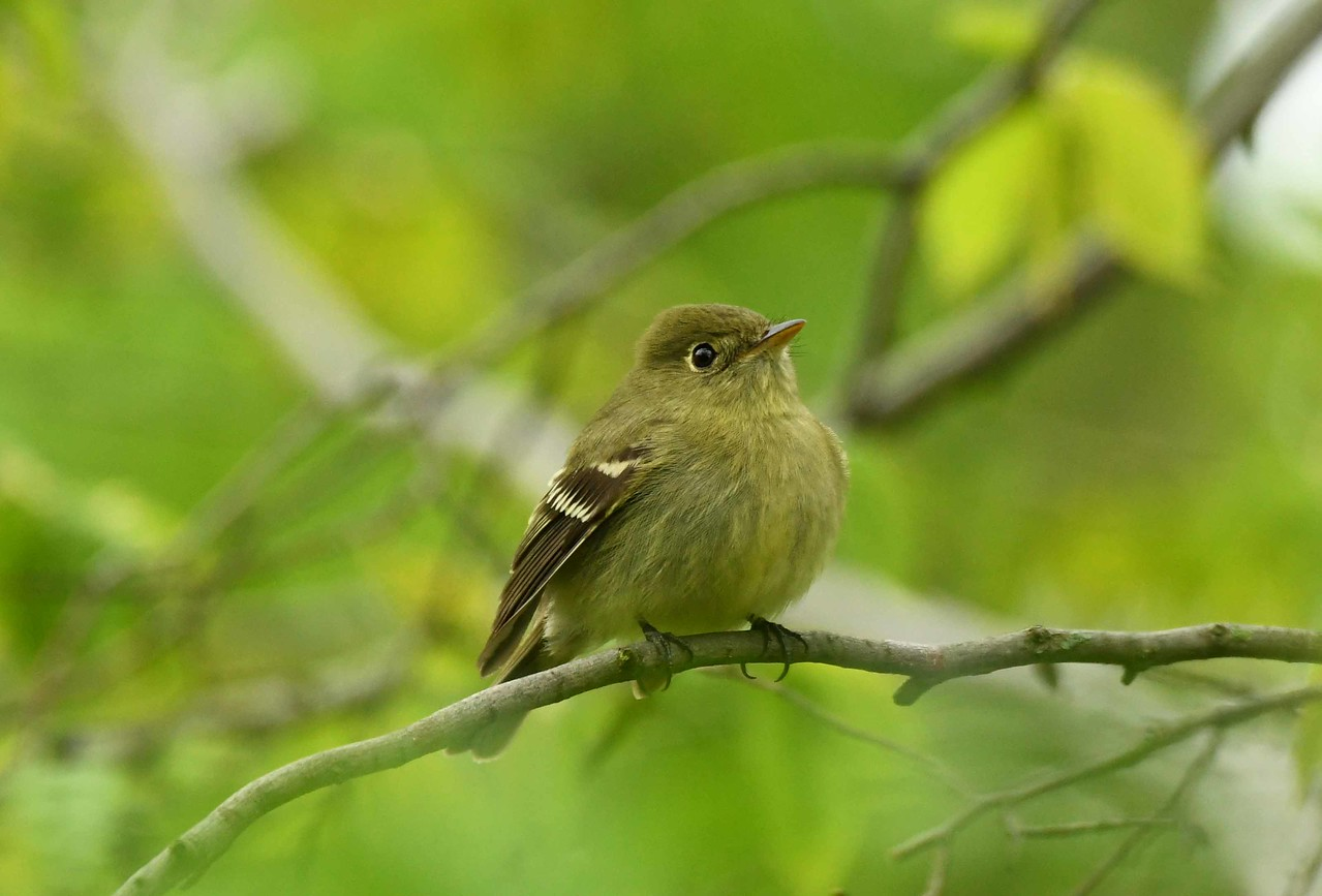 Yellow-bellied Flycatcher -- Empidonax flaviventris