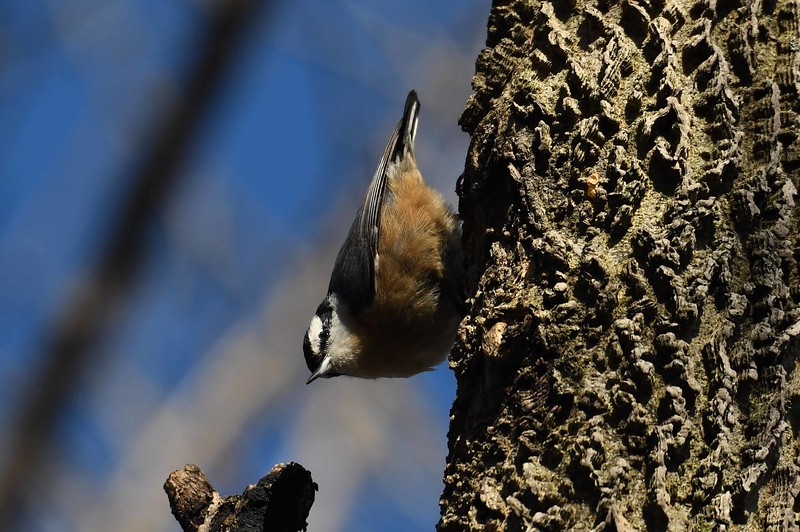 Red-breasted Nuthatch -- Sitta canadensis, checking over some Hackberry -- Celtis occidentalis