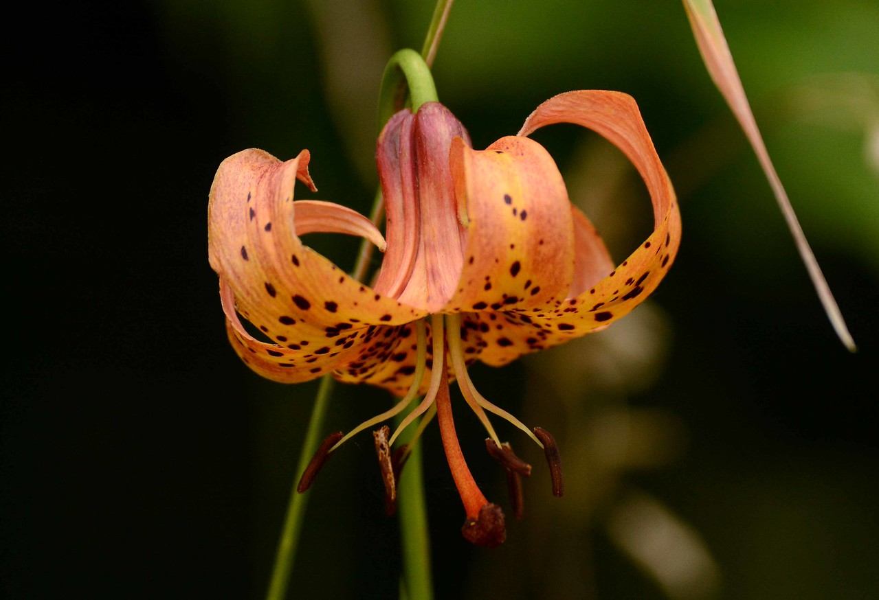 Michigan Lily -- Lilium michiganense<br /> <br /> 'The essayist<br /> Moonlighting in the garden<br /> Left no flower alone'