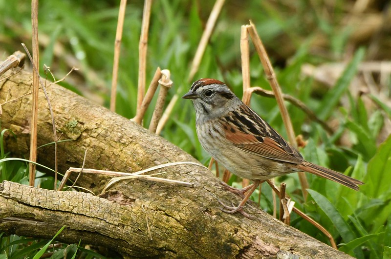 "Swamp Sparrow -- Melospiza georgiana<br /> <br /> ""...my temple is the swamp."" ~ Thoreau, Journal, Jan 4, 1853. ""...the strength, the marrow of nature."" ~ Thoreau, Walking."