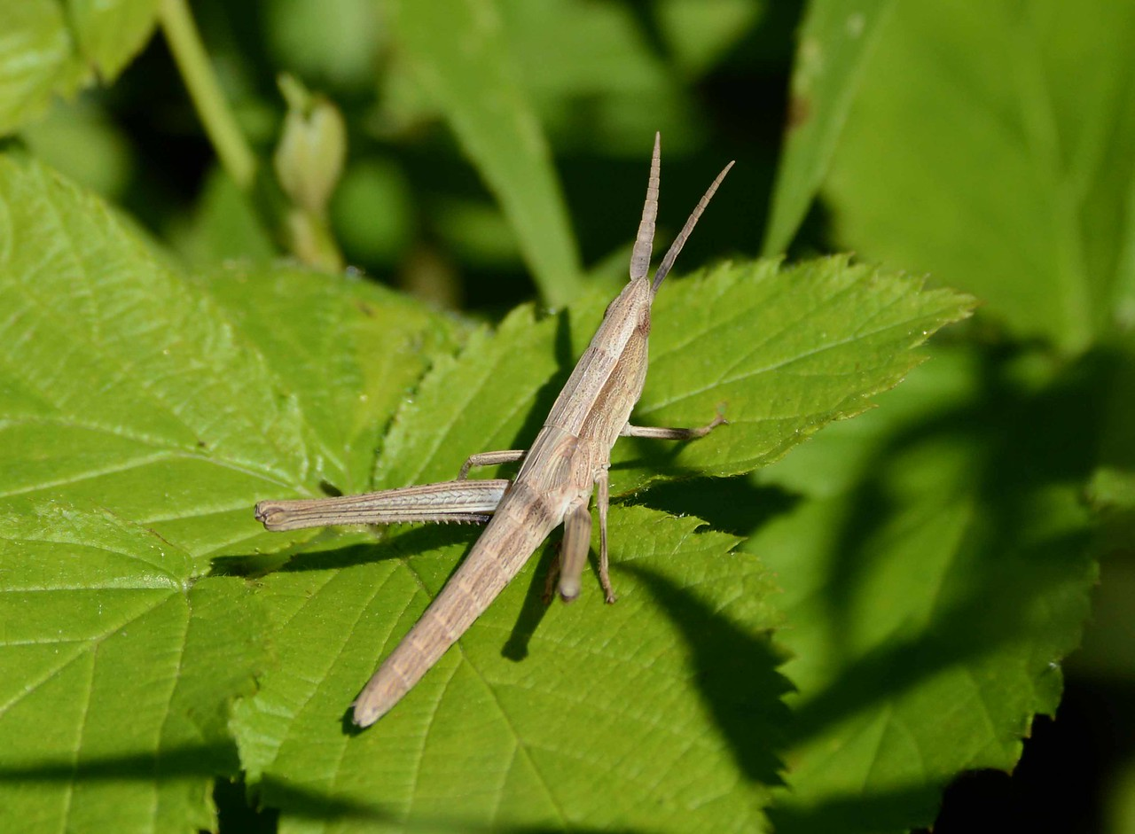 "Short-winged Toothpick Grasshopper -- Pseudopomala brachyptera<br /> <br /> ""Whoever loves and understands a garden will find contentment within."" ~ Chinese proverb"