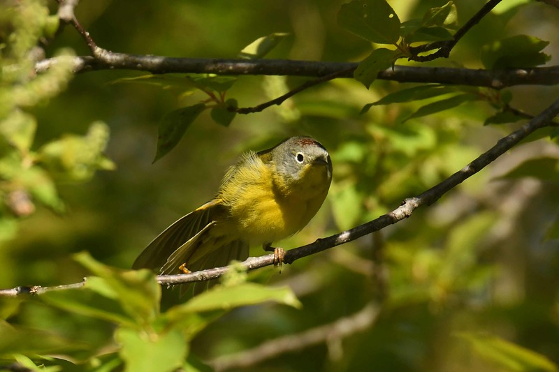 Nashville Warbler (m) -- Oreothlypis ruficapilla, morning preen and stretch -- fitness is essential
