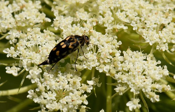 Tumbling Flower Beetle -- Hoshihananomia octopunctata, Family Mordellidae, on Queen Anne's Lace -- Daucus carota