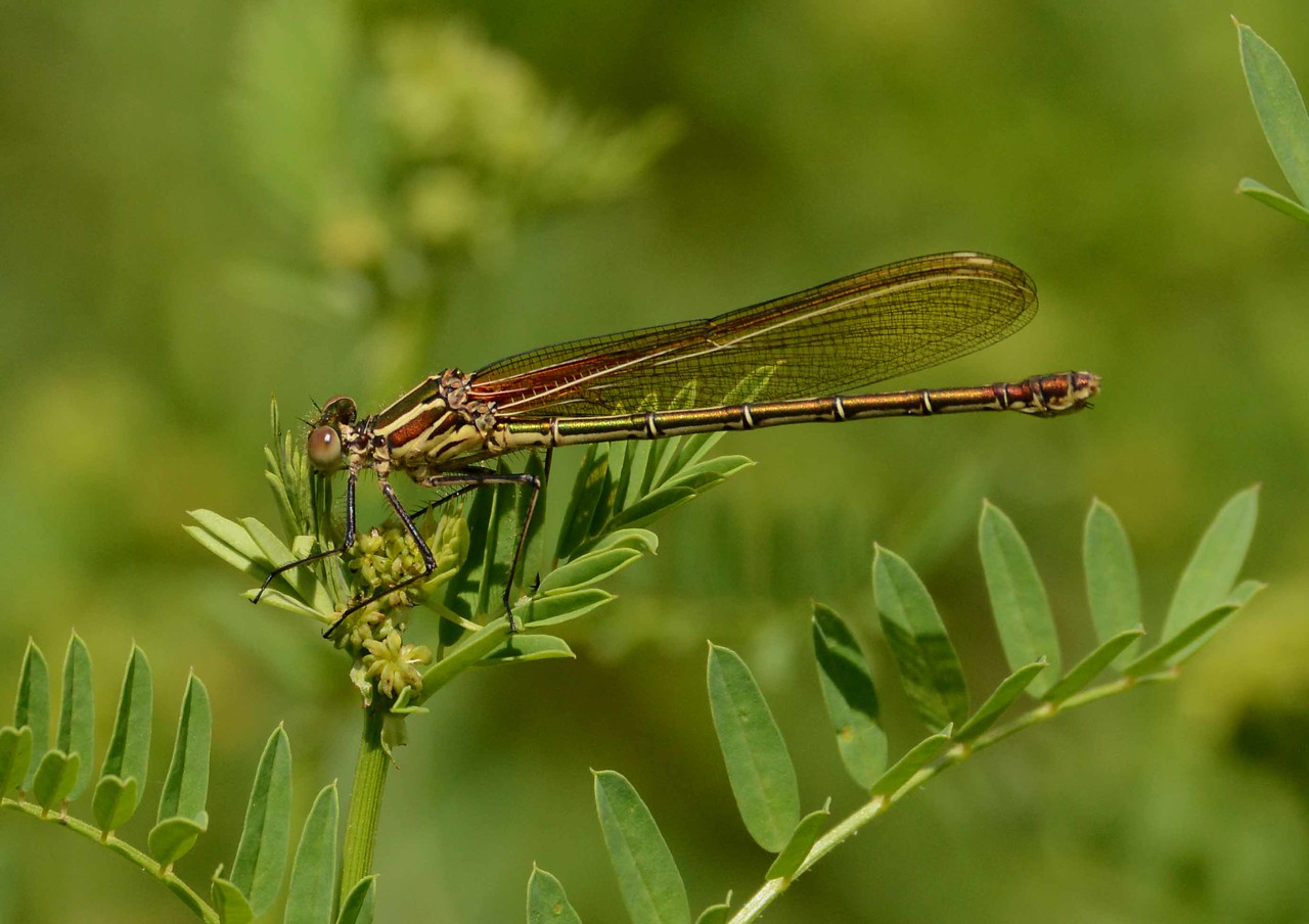 """American Rubyspot (f) -- Hetaerina americana<br /> <br /> """"All my life through, the new sights of Nature made me rejoice like a child."""" ~ Marie Curie"""