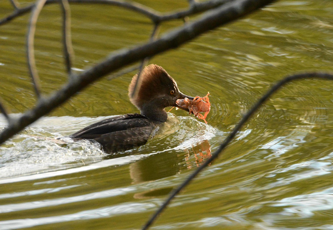 Hooded Merganser (f) -- Lophodytes cucullatus, making off with a crawdad