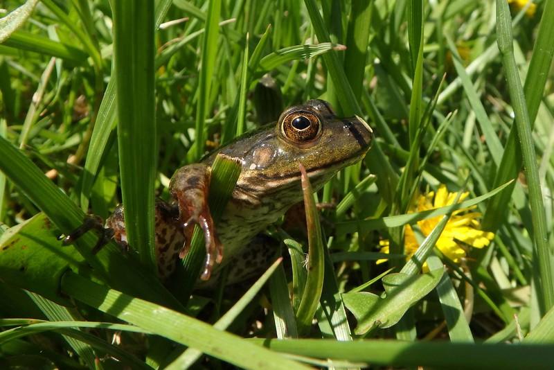 Green Frog -- Rana clamitans melanota