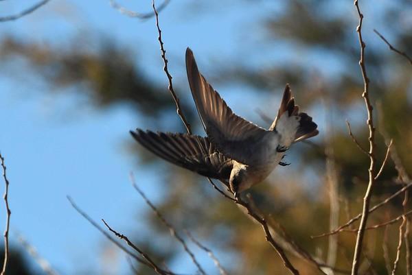 Northern Rough-winged Swallow -- Stelgidopteryx serripennis