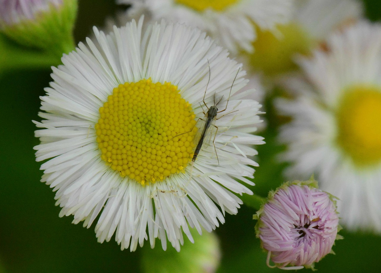 "Philadelphia Fleabane -- Erigeron philadelphicus, and midge<br /> <br /> 'High nature amorous of the good,<br /> But touch'd with no ascetic gloom;<br /> And passion pure in snowy bloom<br /> Thro' all the years of April blood...<br /> <br /> Who loves not knowledge? Who shall rail<br /> Against her beauty? May she mix<br /> With men and prosper! Who shall fix<br /> Her pillars? Let her work prevail.' ~ Tennyson, ""In Memoriam"""