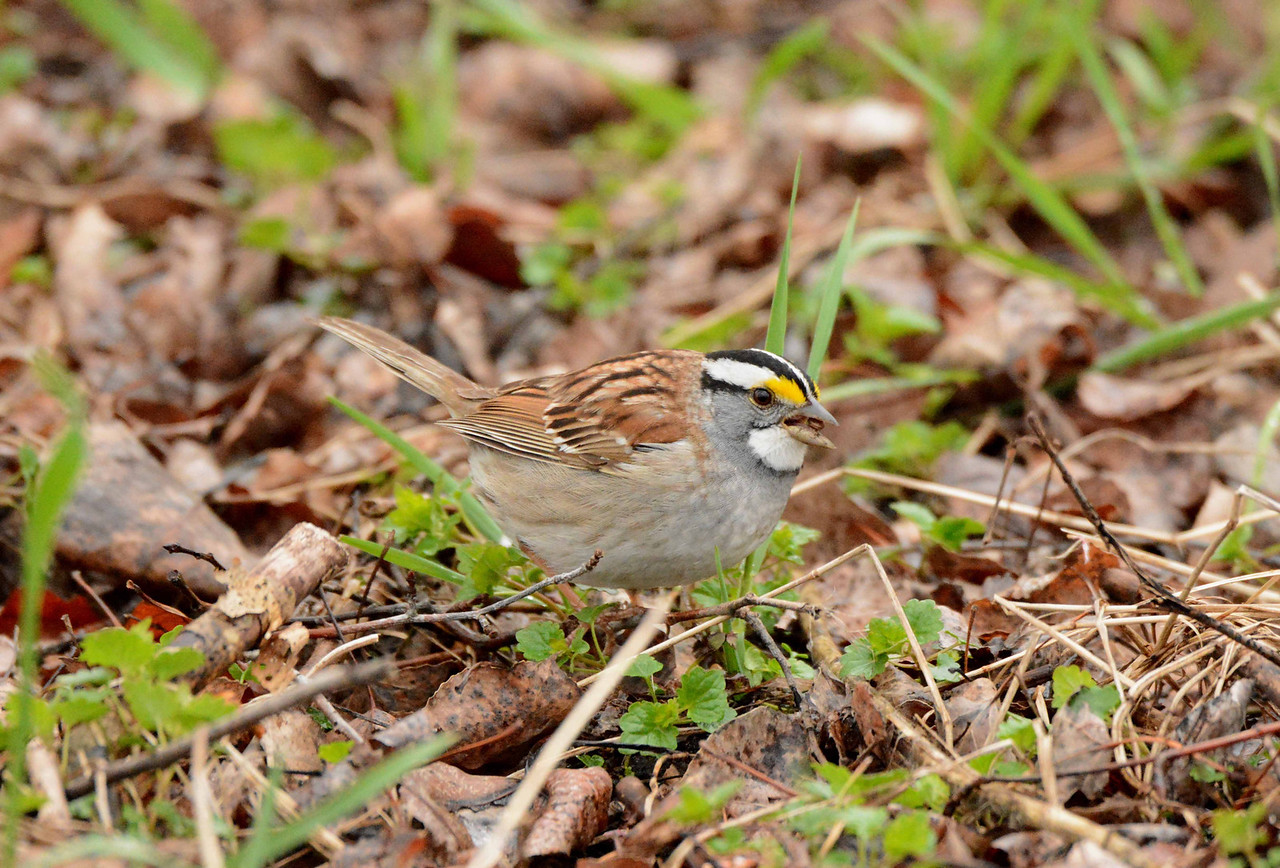 White-throated Sparrow -- Zonotrichia albicollis