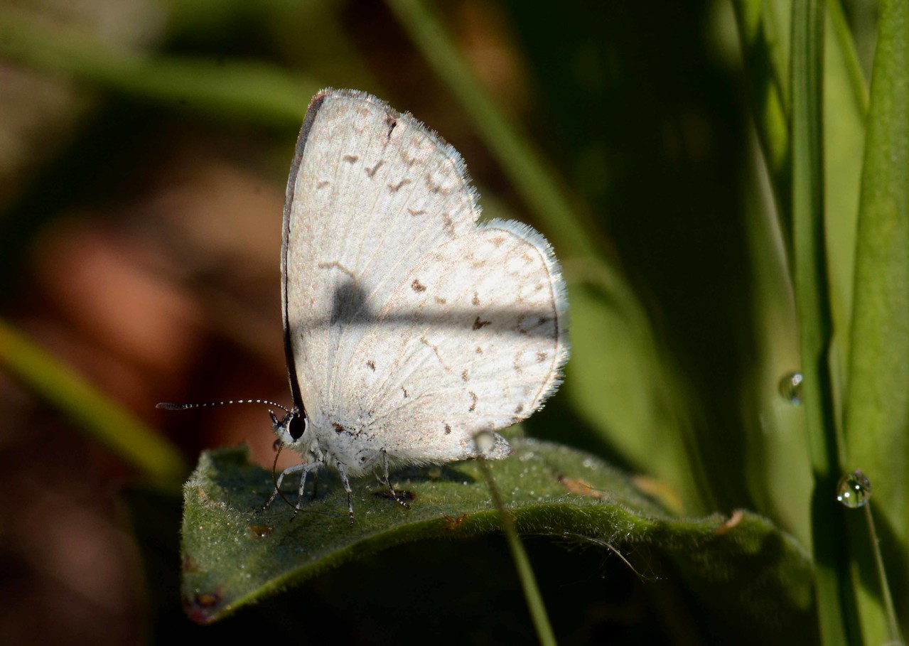 "Spring Azure (f) -- Celastrina ladon, taking dew off a leaf<br /> <br /> ""Happiness always looks small while you hold it in your hands, but let it go, and you learn at once how big and precious it is."" ~ Maxim Gorky, ""The Lower Depths"""