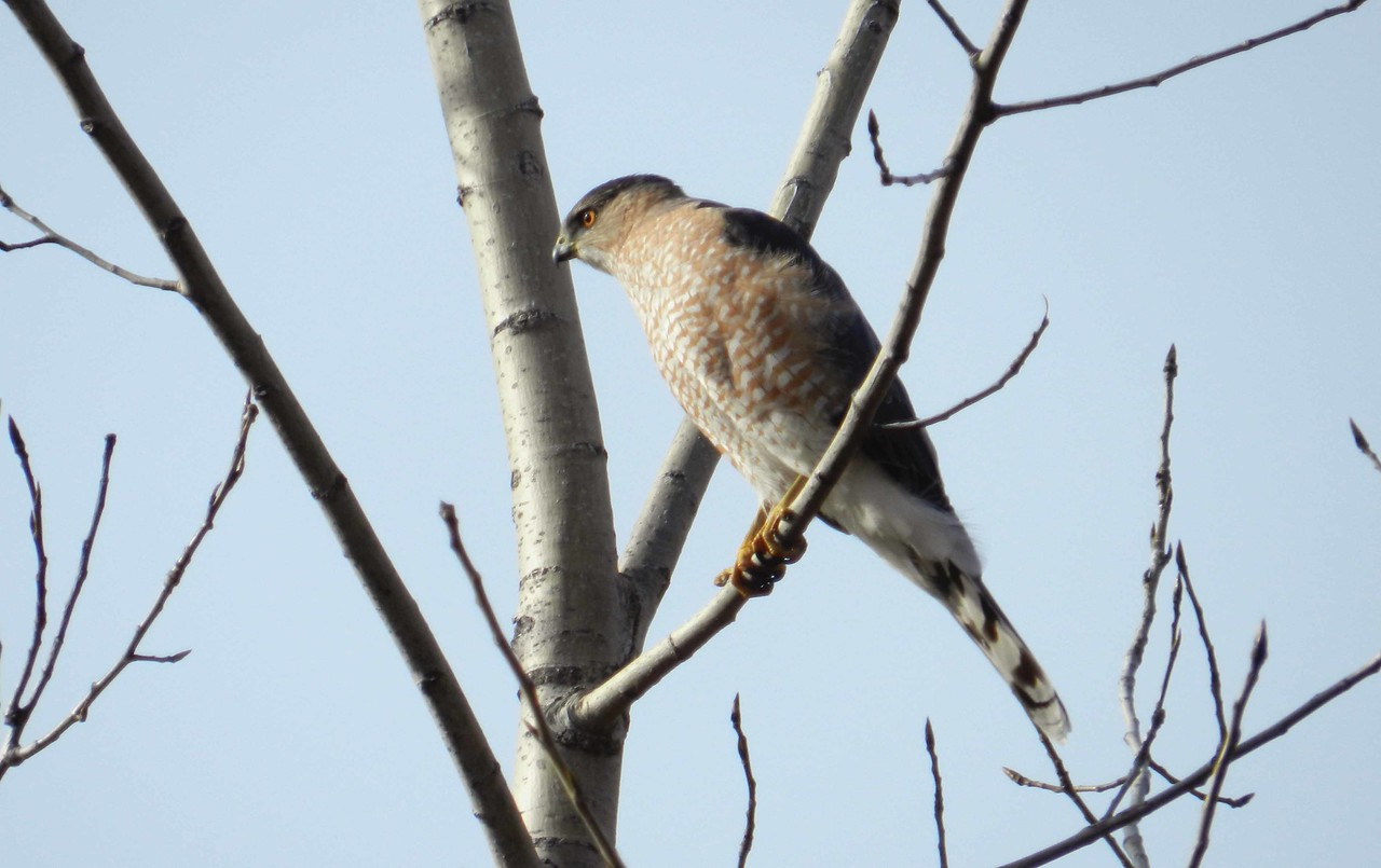 "Cooper's Hawk -- Accipiter cooperii<br /> <br /> ""Truth isn't always beauty, but the hunger for it is."" ~ Nadine Gordimer"