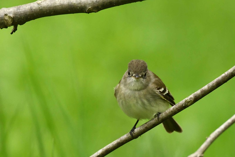 Alder Flycatcher -- Empidonax alnorum