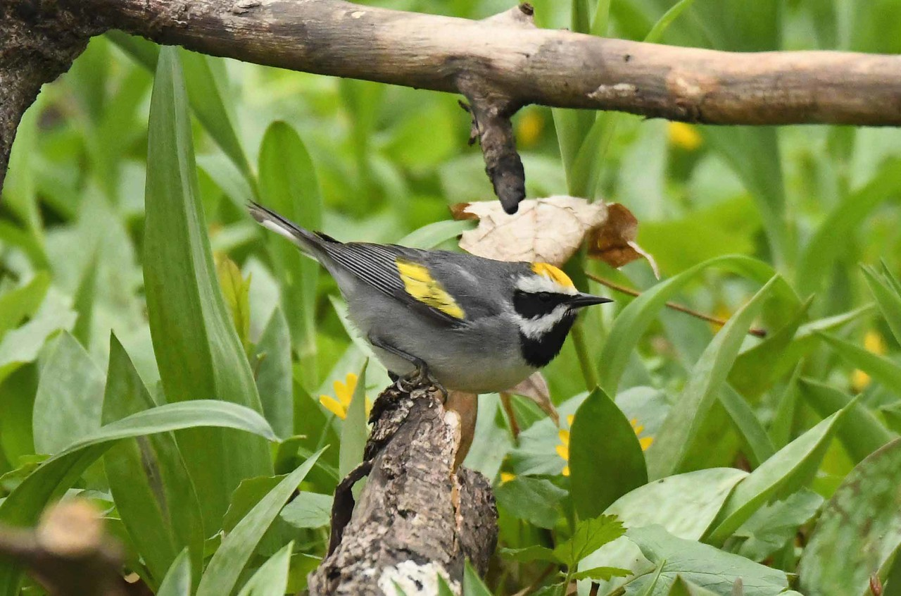"Golden-winged Warbler (m) -- Vermivora chrysoptera<br /> <br /> ""I suffered for birds, for young rabbits caught in the mower.  My grief was not excessive.  For to come upon warblers in early May was to forget time and death."" ~ Theodore Roethke"