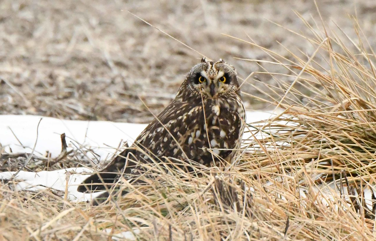 "Short-eared Owl -- Asio flammeus, endangered in IL. <br /> <br /> 'The earth does not argue, <br /> Is not pathetic, has no arrangements,<br /> Does not scream, haste, persuade, threaten, promise,<br /> Makes no discriminations, has no conceivable failures,<br /> Closes nothing, refuses nothing, shuts none out,<br /> Of all the powers, objects, states, it notifies, shuts none out.' ~ from ""A Song of the Rolling Earth"" by Walt Whitman"