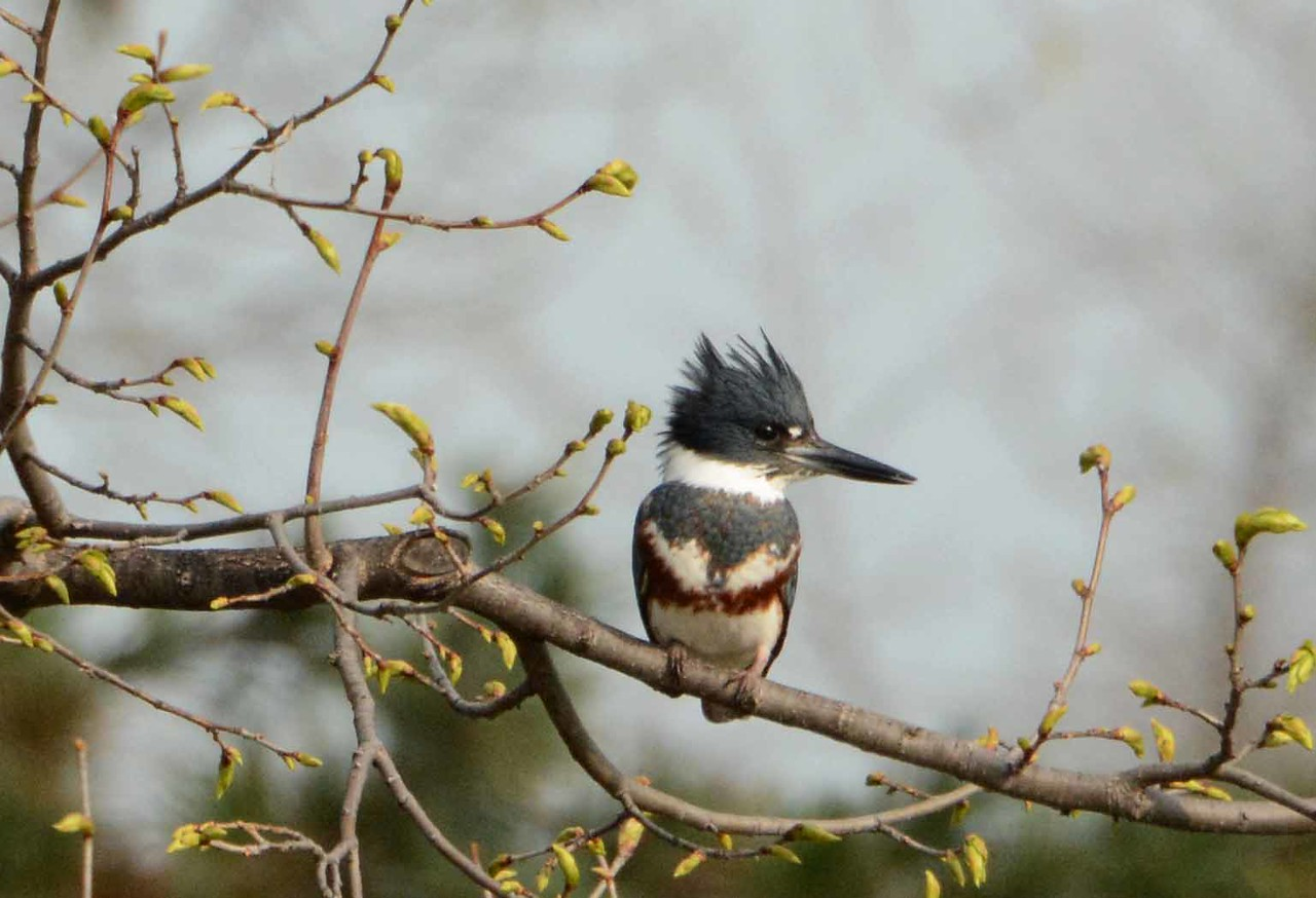 Belted Kingfisher (f) -- Megaceryle alcyon