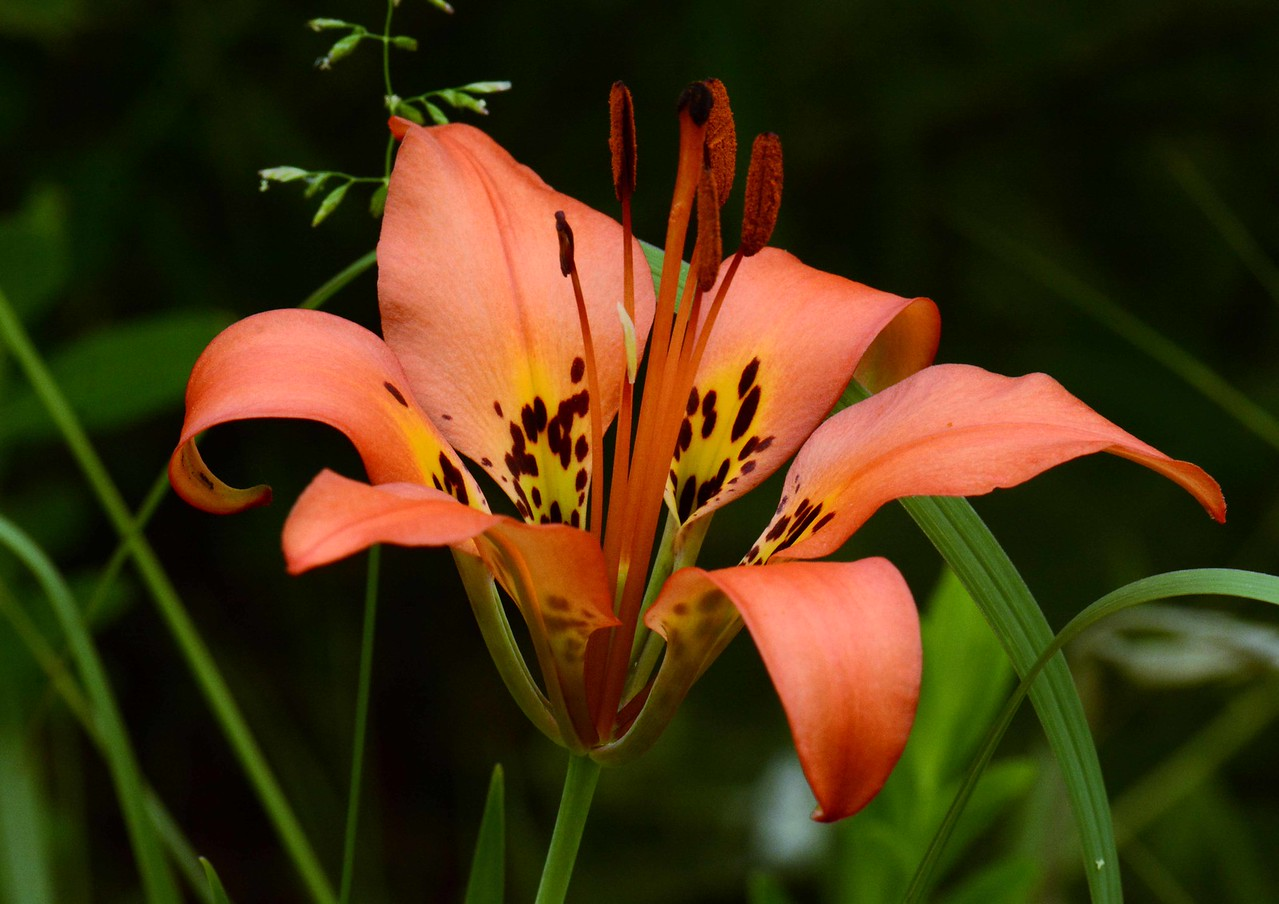 "Wood Lily aka Prairie Lily -- Lilium philadelphicum, was once much more common. Native Americans used the bulbs for food and medicine.<br /> <br /> ""Our national flower is the concrete cloverleaf."" ~ Lewis Mumford"