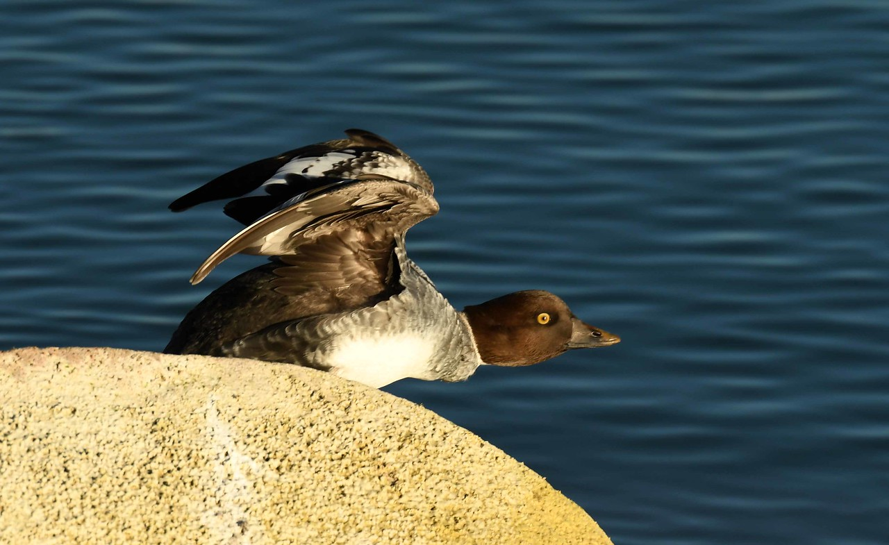 "Common Goldeneye -- Bucephala clangula<br /> <br /> 'Idle on, be.<br /> Thought can see<br /> Behind wee eyes<br /> Images rise eidolon free <br /> Scenes resist propriety<br /> Lie of forfeit destiny' ~ ""Idyll of Undue Dilligence"""