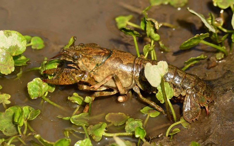 Calico Crayfish (f) -- Orconectes immunis, hauling a spring brood of eggs