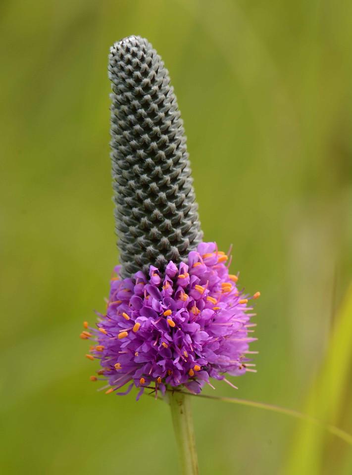Purple Prairie Clover -- Dalea purpurea
