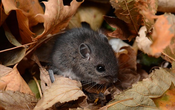 """American Deer Mouse (prairie form) -- Peromyscus maniculatus bairdii, a host species for hantavirus, Lyme disease, plague ...  """"Maybe ever'body in the whole damn world is scared of each other."""" ~ John Steinbeck, """"Of Mice and Men"""""""