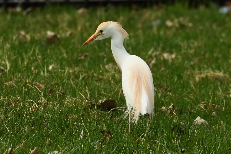 "Cattle Egret -- Bubulcus ibis, in breeding plumage, an unexpected visitor somewhat ""out of range"" but Cattle Egrets are from Africa and not really stay-at-home types."