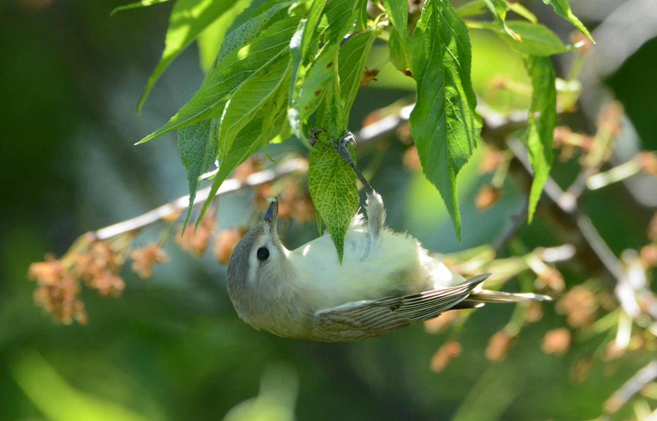 "Warbling Vireo -- Vireo gilvus, tips the scales at around 12g.<br /> <br /> ""To be admitted to Nature's hearth costs nothing. None is excluded, but excludes himself. You have only to push aside the curtain."" ~ Henry David Thoreau"