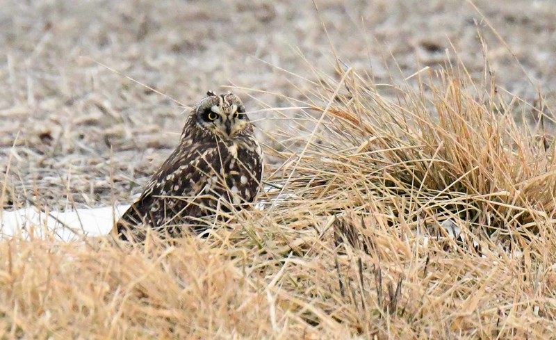 Short-eared Owl -- Asio flammeus, endangered in IL.
