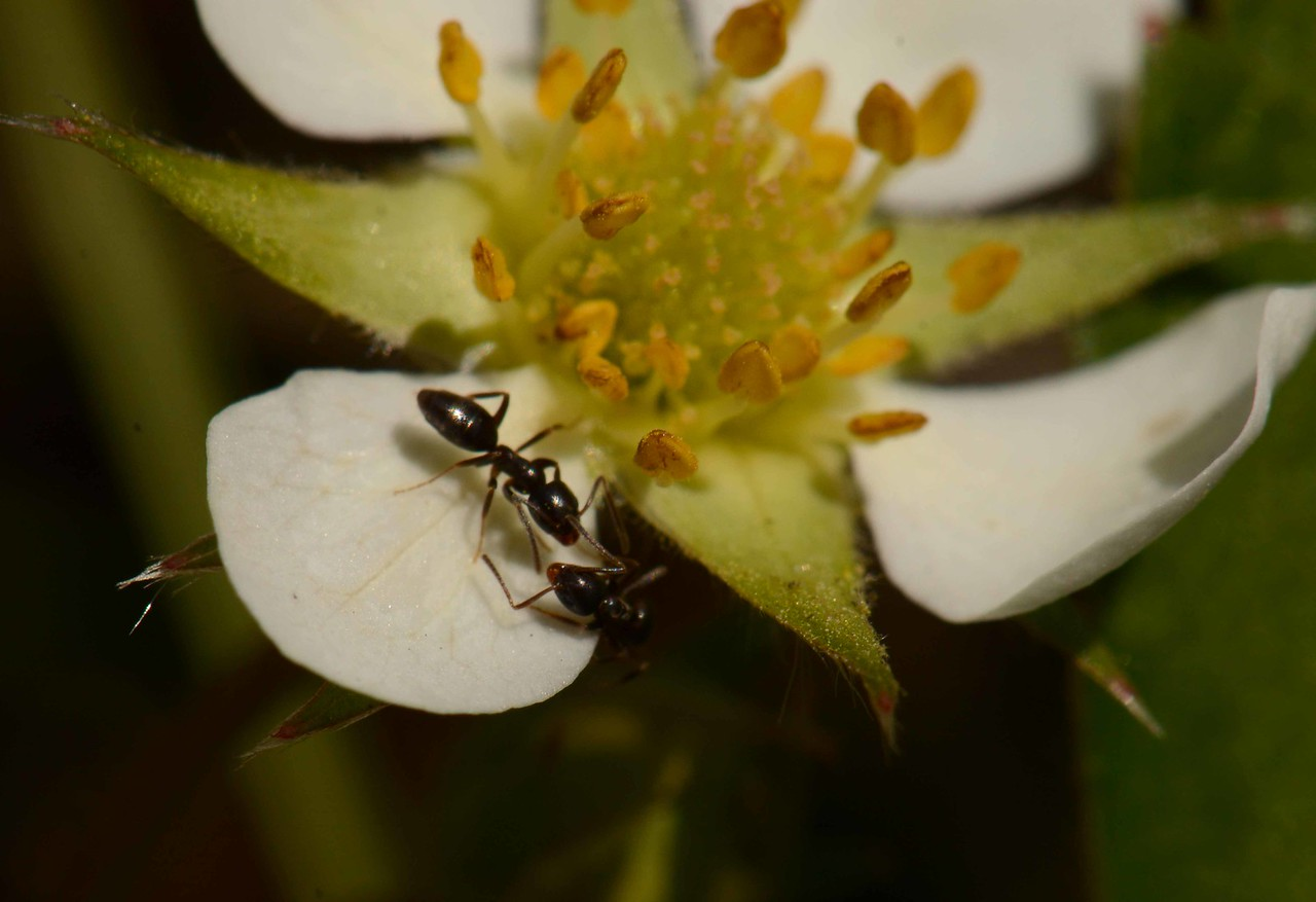"Ants commune on the petal of a Strawberry -- Fragraria spp.<br /> <br /> '...it wont be long now it won't be long<br /> till earth is barren as the moon<br /> and sapless as a mumbled bone<br /> <br /> dear boss i relay this information<br /> without any fear that humanity<br /> will take warning and reform<br /> <br /> archy' ~ from ""What the Ants are Saying"" by Don Marquis, ""archy does his part"", 1935."
