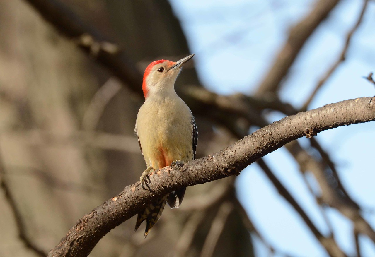 Red-bellied Woodpecker (m) -- Melanerpes carolinus, can extend its tongue 3x the length of its bill