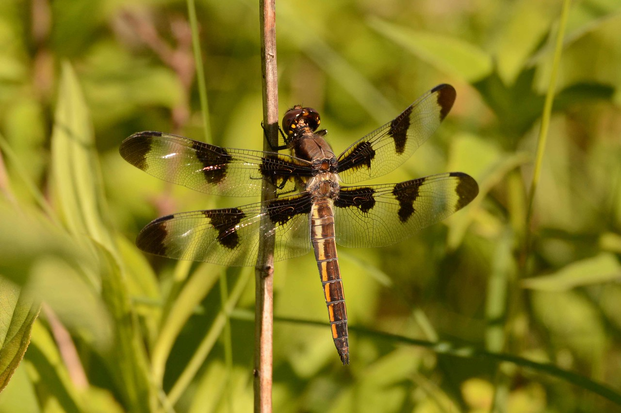 """Twelve-spotted Skimmer (f) -- Libellula pulchella. Winged insects do not only make up the majority of the class Insecta, they comprise the majority of all animals.<br /> <br /> """"I go to books and nature as a bee goes to the flower, for a nectar that I can make into my own honey."""" ~ John Burroughs, """"The Summit of the Years"""""""