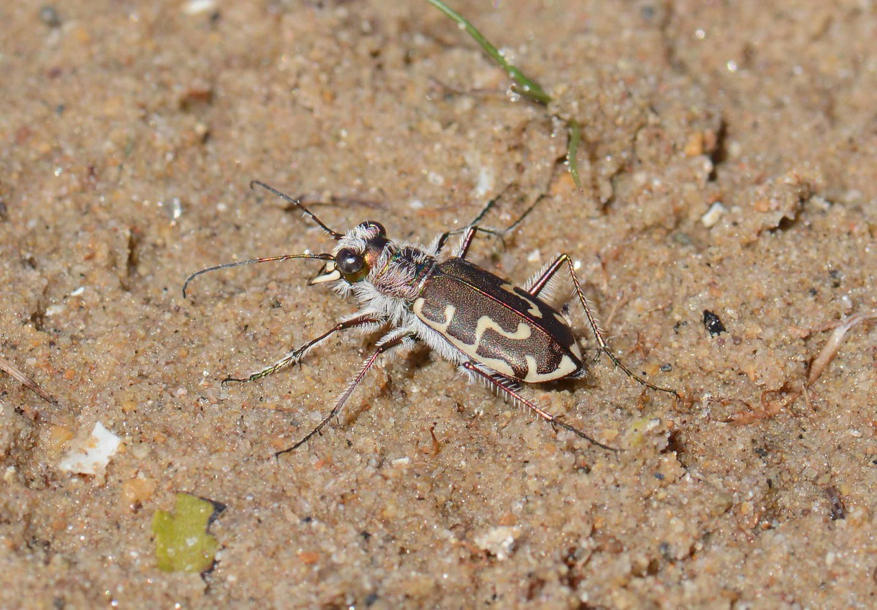 "Bronzed/Dune Tiger Beetle -- Cicindela spp.<br /> <br /> ""I always find beauty in things that are odd and imperfect – they are much more interesting."" ~ Marc Jacobs"