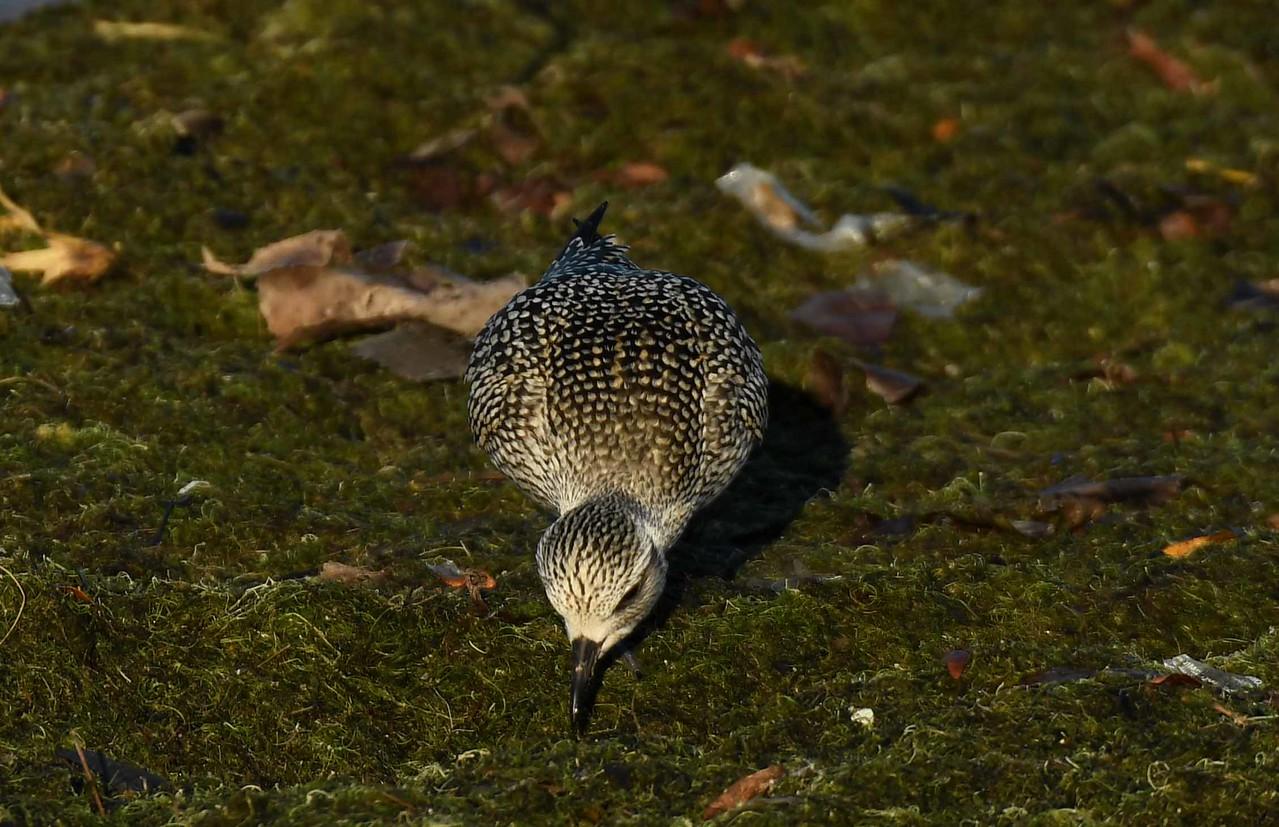 Black-bellied Plover -- Pluvialis squatarola