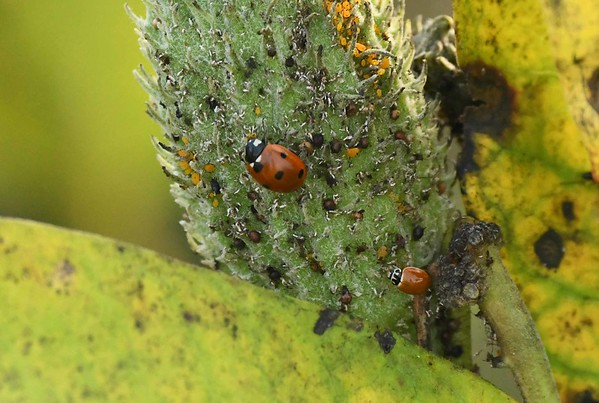 aphids on milkweed draw some Lady Beetles:  Seven-spotted -- Coccinella septempunctata, and a spotless Cycloneda munda