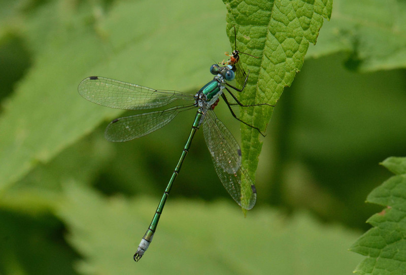 """Emerald Spreadwing (m) -- Lestes dryas, with cluster of parasitic hydracarina watermites on the underside of its thorax, eats a parasitic Ichneumonid wasp.<br /> <br /> 'Deep in the sun-searched growths the dragonfly<br /> Hangs like a blue thread loosened from the sky.' ~ Dante Gabriel Rossetti, """"Silent Noon"""""""