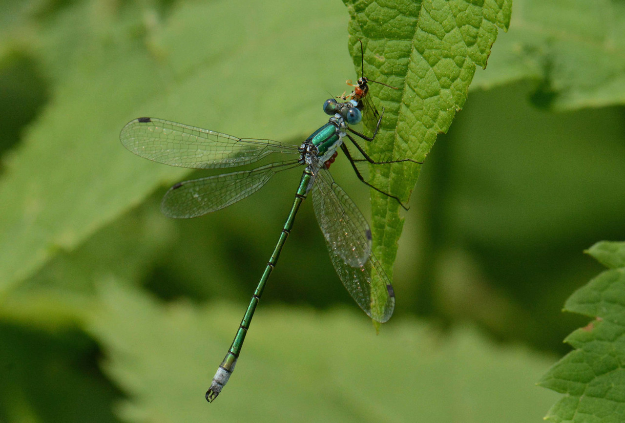 "Emerald Spreadwing (m) -- Lestes dryas, with cluster of parasitic hydracarina watermites on the underside of its thorax, eats a parasitic Ichneumonid wasp.<br /> <br /> 'Deep in the sun-searched growths the dragonfly<br /> Hangs like a blue thread loosened from the sky.' ~ Dante Gabriel Rossetti, ""Silent Noon"""